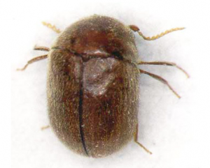 Cigarette beetles measure only 2-3 mm and thrive in the warm, humid conditions in which cigarettes are stored.