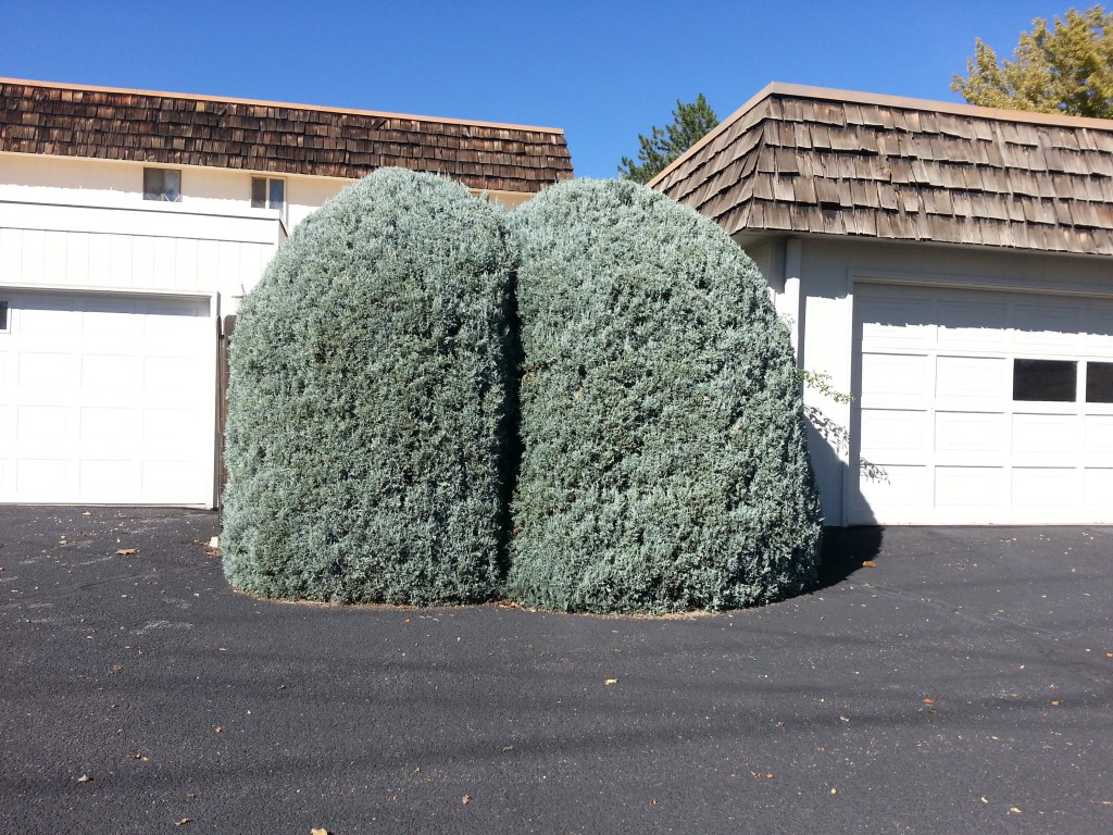"Two bushes, located at the ""Vintage 70s"" subdivision along G Road between 12th Street and Horizon Drive, are carved into the shape of a gigantic buttocks and appears to be mooning drivers traveling along G Road."