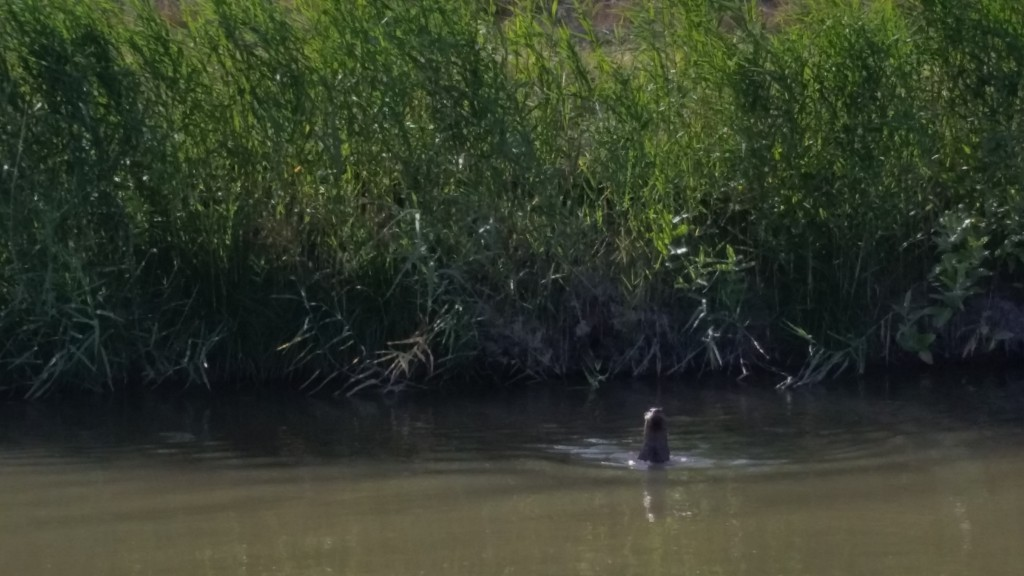 This highly unusual creature was spotted swimming in the Highline Canal this morning. It's obviously a lot bigger than a muskrat, but what is it?