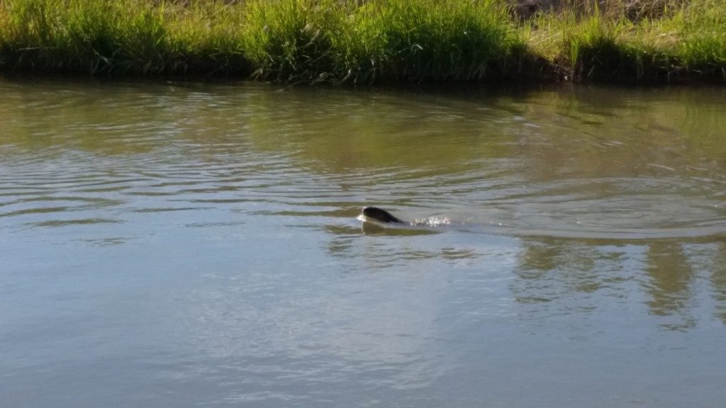 Unknown animal swimming in canal